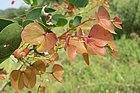 Hardwickia binata - Anjan at Theni (1).jpg