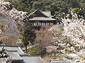 Hase-dera the cherry trees of the main hall of a Buddhist temple.jpg
