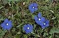 Hautes-Alpes Arvieux Col Du Lauzon Fleurs Gentianes Bleues Six Petales 071986 - panoramio.jpg