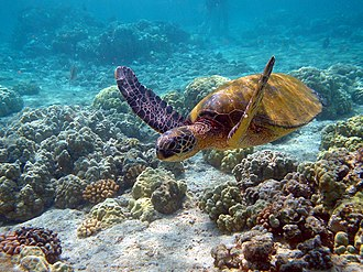 Habitat destruction - Chelonia mydas on a Hawaiian coral reef. Although the endangered species is protected, habitat loss from human development is a major reason for the loss of green turtle nesting beaches.