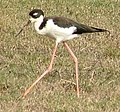 Hawaiian Stilt, Poamoho Camp, Oahu, Dec-07.JPG
