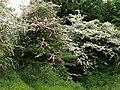 Hawthorn, Stevenston - geograph.org.uk - 823476.jpg