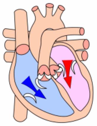 Diastole - Heart during ventricular diastole.