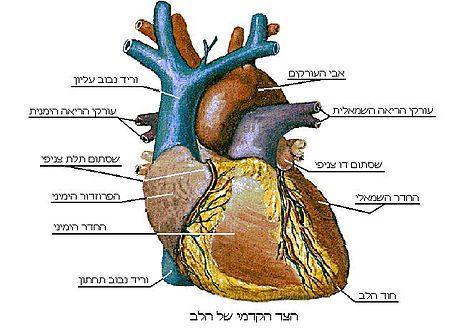 לב האדם