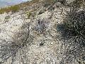 Hechtia species (5780726986).jpg