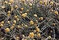 Helichrysum stoechas 1.jpg