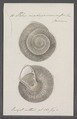 Helix madagascariensis - - Print - Iconographia Zoologica - Special Collections University of Amsterdam - UBAINV0274 089 01 0016.tif