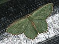 Hemithea aestivaria - Common emerald - Зелёная пяденица хвостатая (39127002450).jpg