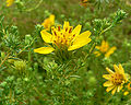 Hemizonia minthornii 2.jpg