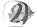 Heniochus acuminatus Day.png