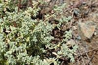 Herniaria incana kz03.jpg