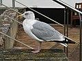 Herring Gull at Shaldon.jpg