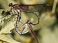 Hetaerina americana-mating.jpg