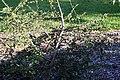 Hibiscus greveanus 4zz.jpg