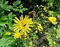 Hieracium laevigatum Willd. (7608620624).jpg
