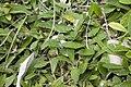Hieracium pilosella bray-sur-somme 80 25062007 3.jpg