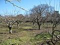 High Weald Landscape Trail through an orchard near Wittersham - geograph.org.uk - 1744039.jpg