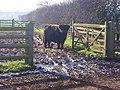 Highland Cattle in Shropshire - geograph.org.uk - 685272.jpg