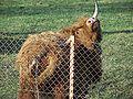 Highland cattle-Poland-08.jpg