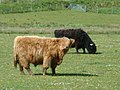 Hightlands cows - panoramio.jpg