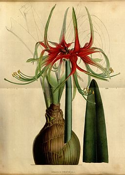 Hippeastrum cybister (as Amaryllis cybister ) 5.455