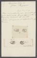 Hippopodius luteus - - Print - Iconographia Zoologica - Special Collections University of Amsterdam - UBAINV0274 110 13 0022.tif
