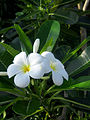 Hoa sứ trắng.jpg