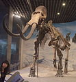 Hohhot.Inner Mongolia Museum.Mammuthus Sungari.2.jpg