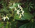 Holarrhena pubescens 02.JPG