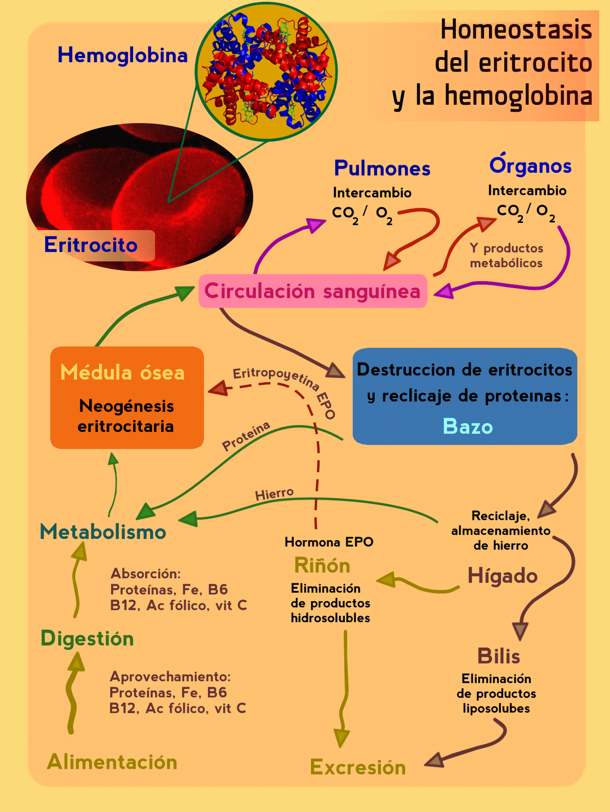Que es la hemoglobina alta en la orina