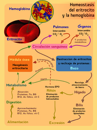 Hemocateresis wikipedia la enciclopedia libre - Definition de superficie ...