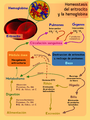 Homeostasis del eritrocito y la hemoglobina.png
