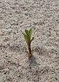 Honckenya peploides kz10.jpg