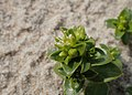 Honckenya peploides kz13.jpg