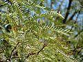 Honey Mesquite - Flickr - treegrow (1).jpg
