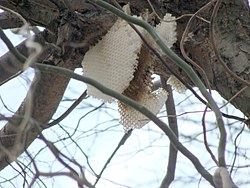 Honey comb2pl.jpg
