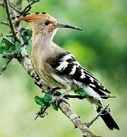 Hoopoe at Rajaji NP (cropped).jpg