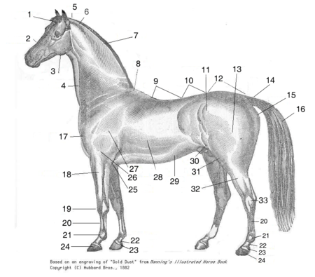 Horse parts-Schema cheval-num.png