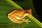 Hourglass treefrog (Dendropsophus ebraccatus).jpg