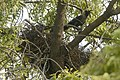 House Crow nest in Tirppur JEG1341.jpg