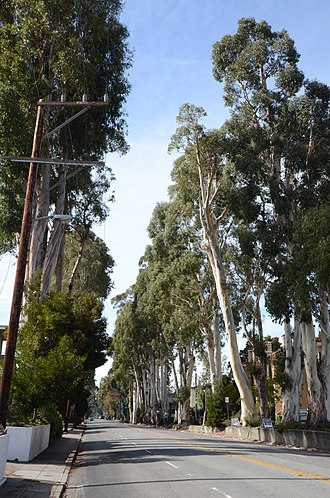 Burlingame, California - Image: Howard Ralston Eucalyptus Tree Rows