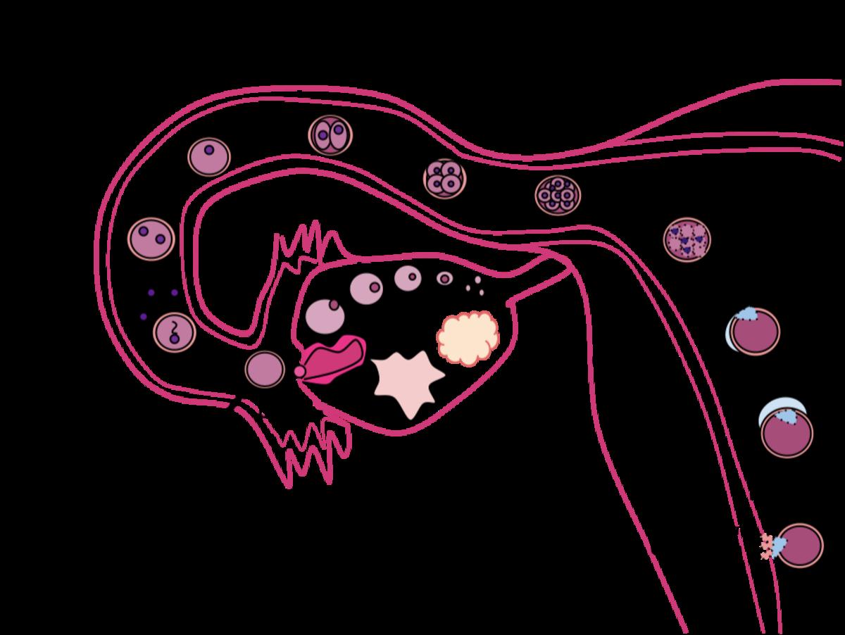 Формування нервової трубки