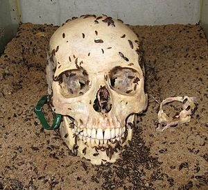 Skulls Unlimited International - Dermestid beetles being used to clean a human skull at Skulls Unlimited International.