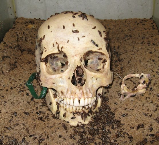 Human Skull being cleaning by Dermestid Beetles