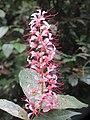 Humboldtia brunonis flowers at Kunnathurpadi (2).jpg