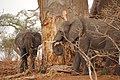 Hummm^^ Yummy baobab II - Chobe National Park - Botswana - panoramio.jpg