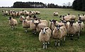 Hungry Sheep - geograph.org.uk - 668656.jpg