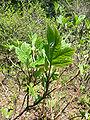 Hydrangea quericifolia2.jpg