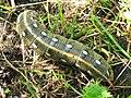 Hyles gallii (larva) - Bedstraw hawk-moth (caterpillar) - Бражник подмаренниковый (гусеница) (27363427288).jpg
