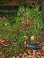 Hypericum balearicum - Royal Botanical Garden, Madrid.JPG